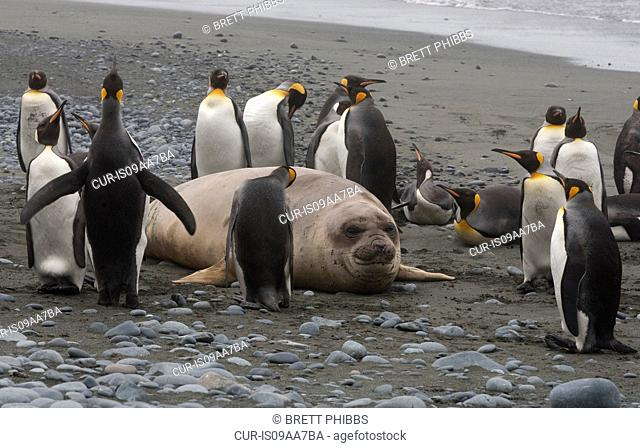 Elephant seal pup with King Penguins, north east side of Macquarie Island, Southern Ocean