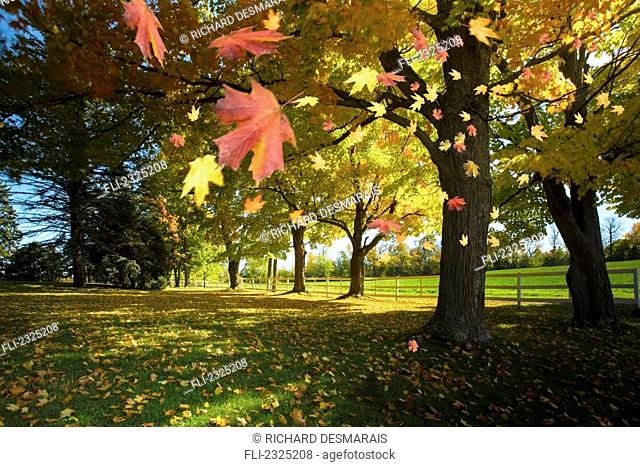 Autumn Leaves Blowing In The Breeze In Gatineau Hills; Quebec, Canada