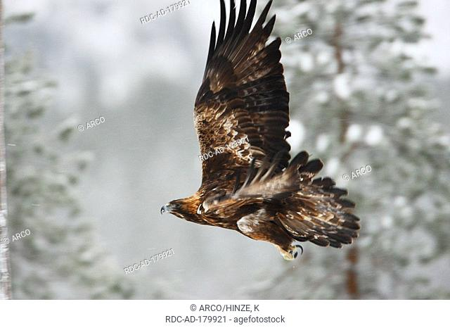 Golden Eagle, Oulanka national park, Finland, Aquila chrysaetos