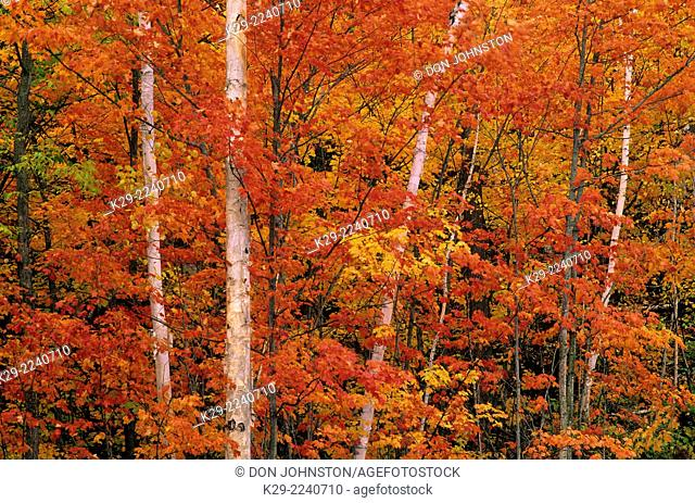 Autumn foliage in deciduous forest featuring maple and birch, Greater Sudbury, Ontario, Canada