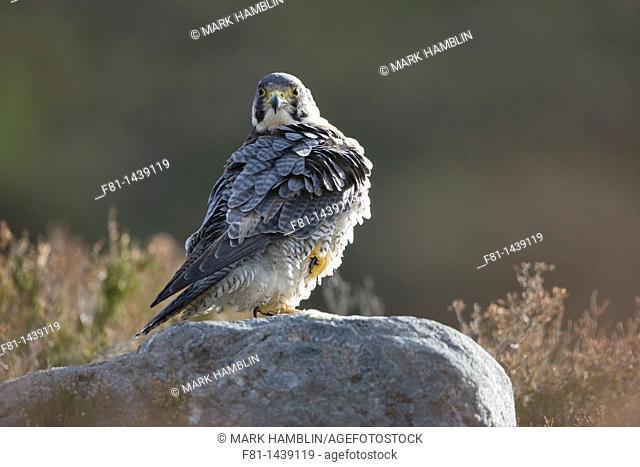 Peregrine falcon (Falco peregrinus) perched on rock on moorland captive-bred, Scotland, UK