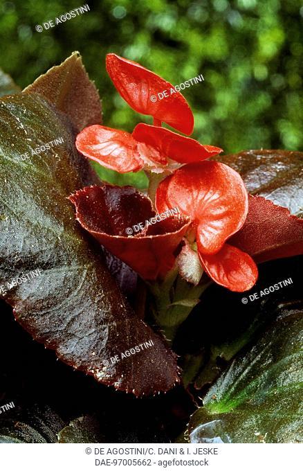 Begonia (Begonia x semperflorens), Begoniaceae