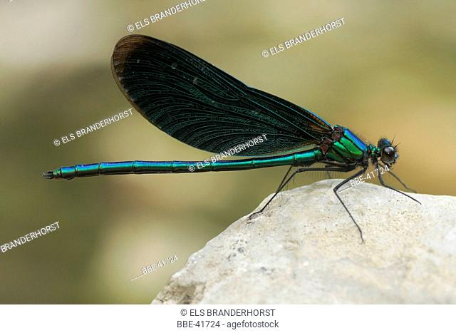 Beautiful Demoiselle male sitting on his post, guarding
