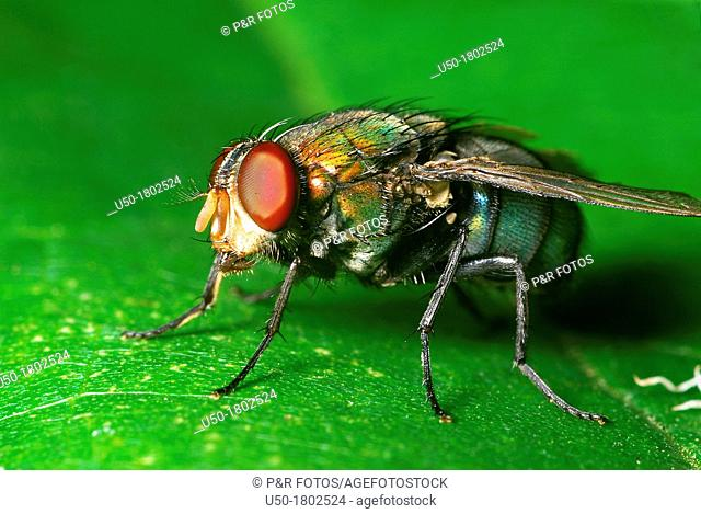 Blow fly, Calliphoridae  2012