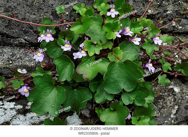 Ivy-leaved toadflax, Cymbalaria muralis