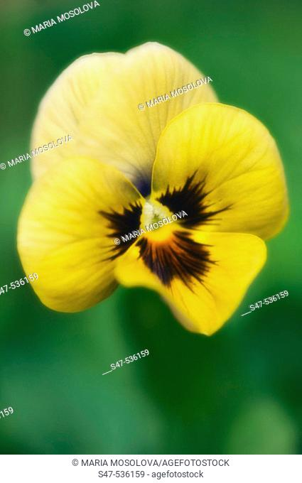 Yellow Pansy Flower. Viola x wittrockiana, Maryland, USA