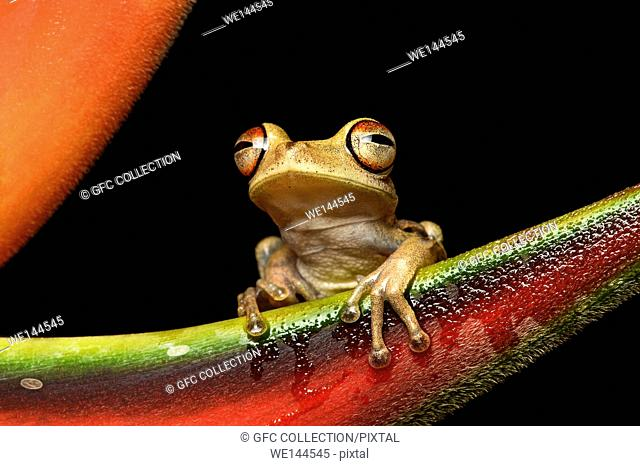Neotropical treefrog Hypsiboas fasciatus, Treefrog family (Hylidae), Amazon rainforest, Copalinga, Zamora province, Ecuador.