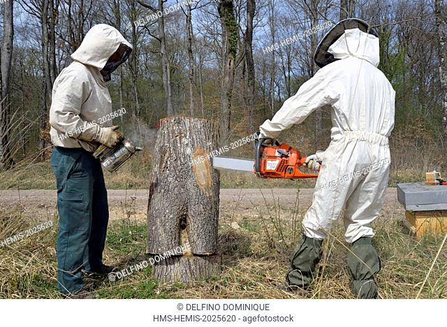 France, Haute Saone, a piece of beekeepers sawing stricken oak forest in which there is a swarm of bees forest in order to transfer into a hive