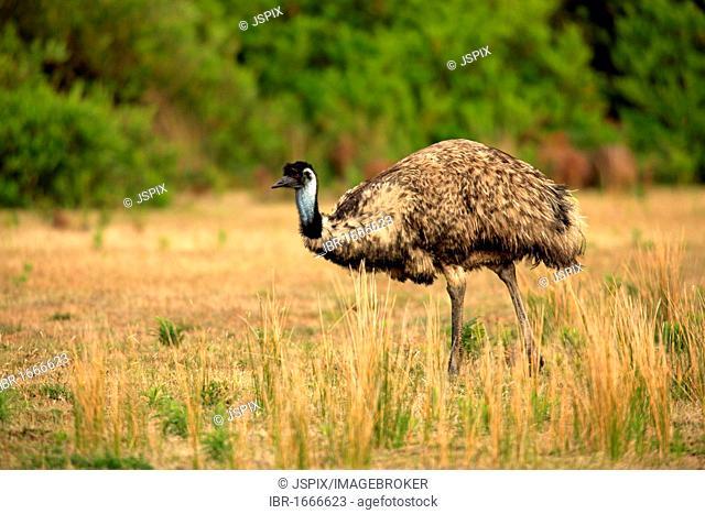 Emu (Dromaeus novaehollandiae), adult, Wilson Promontory National Park, Australia