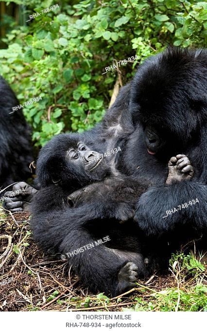 Mountain gorillas Gorilla gorilla beringei playing, Rwanda Congo border, Africa