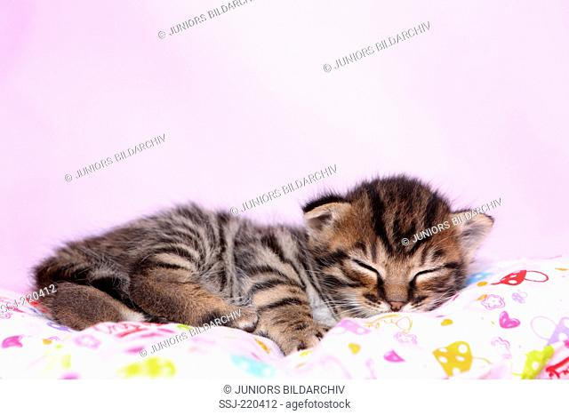 European Shorthair. Kitten (3 weeks old) sleeping on a pillow. Germany