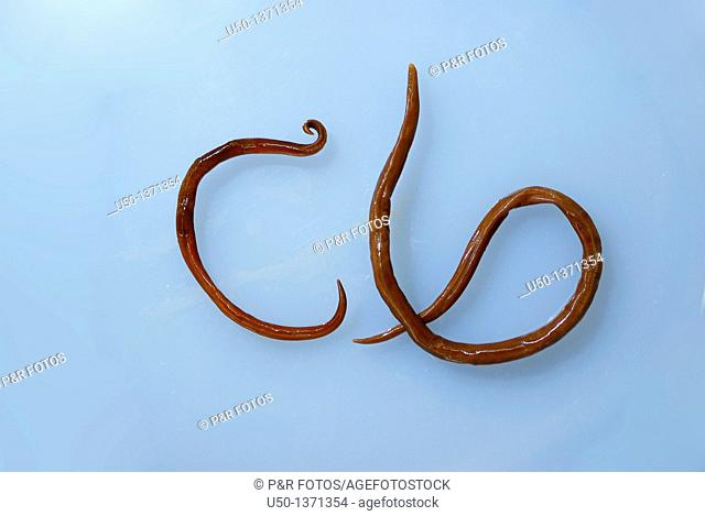 Male left and female right of Intestinal roundworms, Ascaris sp , lombrigas, 2009