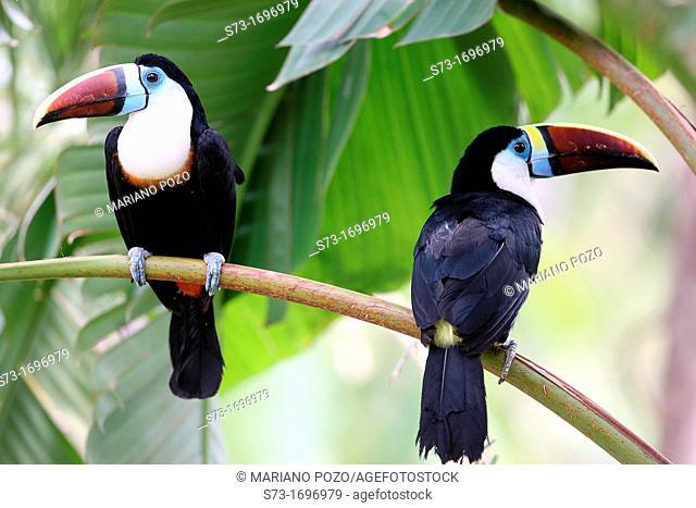 Two White-throated Toucan Ramphastos tucanus
