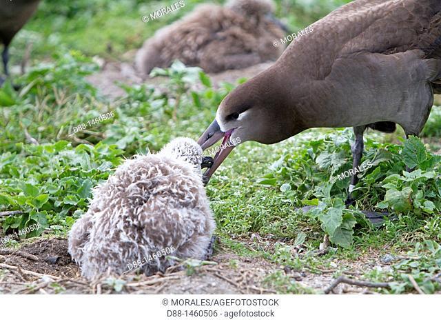 Black-footed Albatross (Phoebastria nigripes), Sand Island, Midway Atoll National Wildlife Refuge, Hawaii, USA