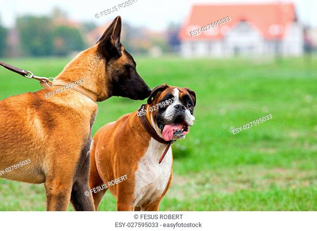 Belgian Malinois young puppy an Boxer Dog in love