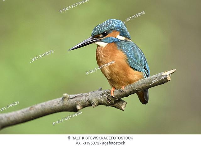 Kingfisher (Alcedo atthis) adult male in spring on its lookout, perched on a branch, close-up, detailed side view, wildlife, Europe