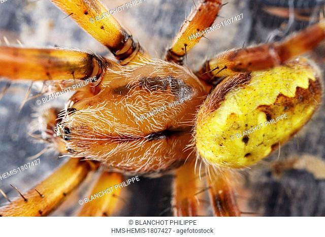 France, Pyrenees Atlantiques, Araneae, Araneidae, Four spot orb weaver (Araneus quadratus), close up of the male