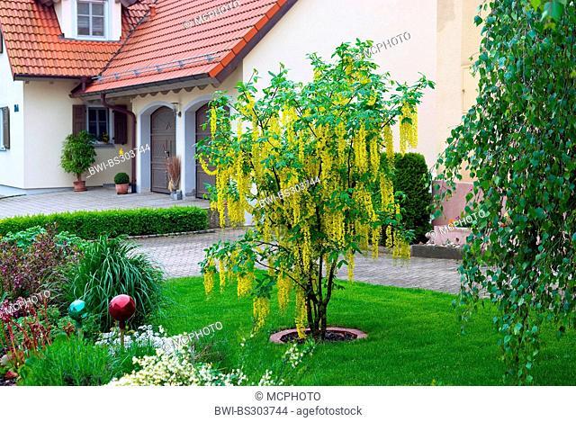 common laburnum (Laburnum x watereri 'Vossii', Laburnum x watereri Vossii), cultivar Vossii im garden