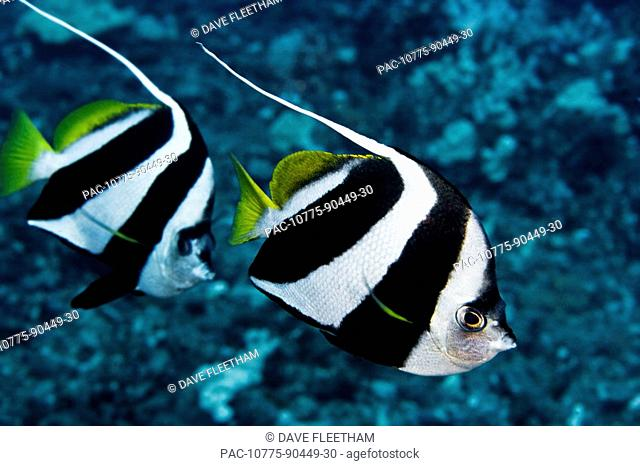 Hawaii, Two Pennant Bannerfish heniochus chrysostomus gliding through water together