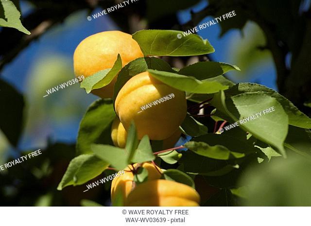 Apricots in tree, Okanagan Centre, BC Canada
