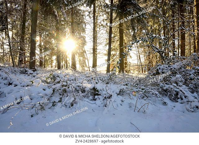 Landscape of a Norway spruce (Picea abies) forest in winter