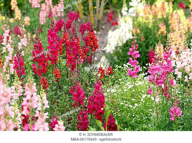 Snapdragon, Antirrhinum majus, flowers