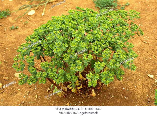 Sun spurge (Euphorbia helioscopia) ia an annual plant native to Europe and northern Africa. This photo was taken in Barcelona province, Catalonia, Spain