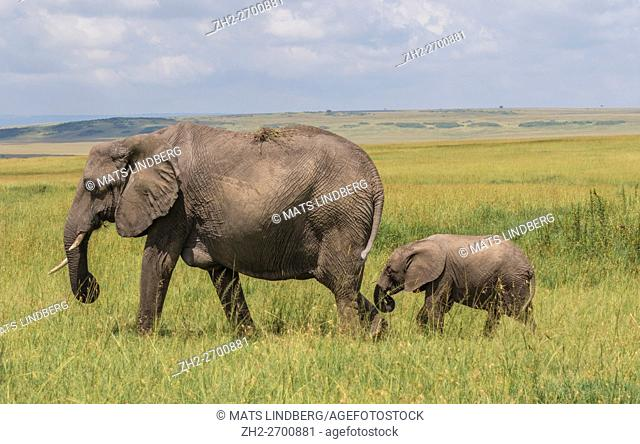 Elephant with calf walking with the calf behind in high grass on the savanna, Masai Mara, Kenya, Africa