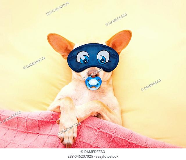 chihuahua dog with headache and hangover sleeping in bed like a baby with pacifier dreaming sweet dreams, wearing eye mask