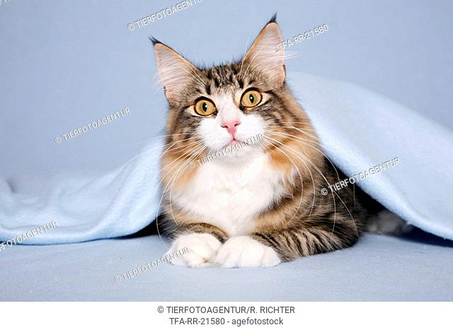 norwegian forest cat