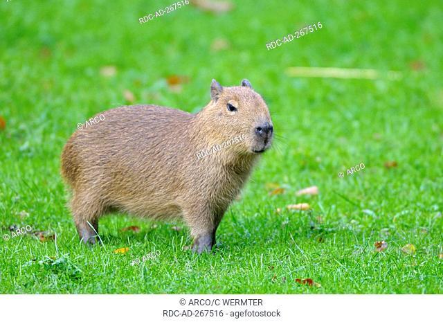 Capybara, young / Hydrochoerus capybara, Hydrochaeris hydrochaeris