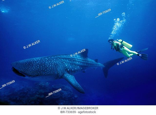 Scuba Diver viewing a Whale Shark (Rhincodon typus), Australia