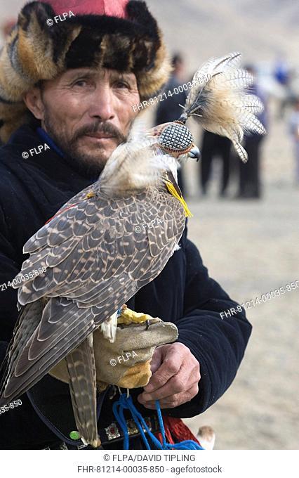 Kazakh hunter with hooded Saker Falcon Falco cherrug, Eagle Hunters Festival, Bayan-Ulgii, Western Mongolia, october