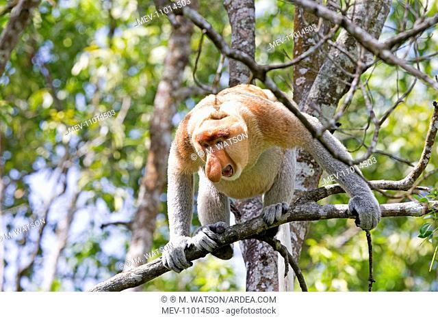 Proboscis / Long-nosed Monkey - chief male Labuk Bay, Sabah, Malaysia, Borneo, Asia (Nasalis larvatus)