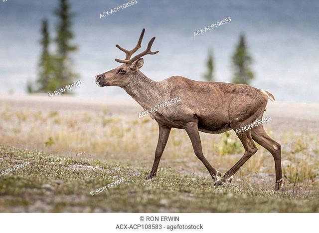 Woodland Caribou (Rangifer tarandus caribou), Muncho Lake Provincial Park, British Columbia, Canada
