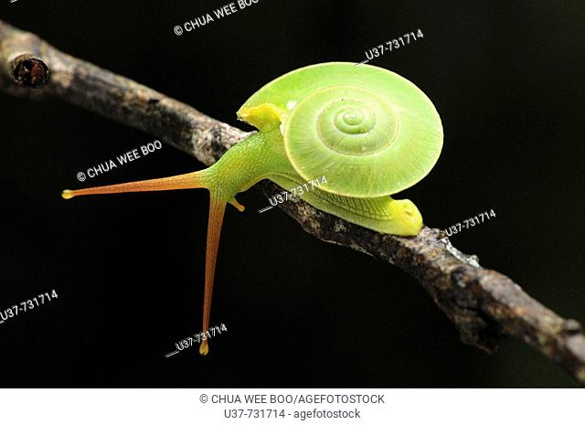 This green snail is often seen living on high ground moving from tree's leaves to the other