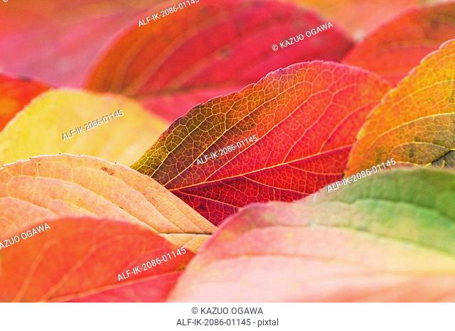 Colourful Camellia Leaves