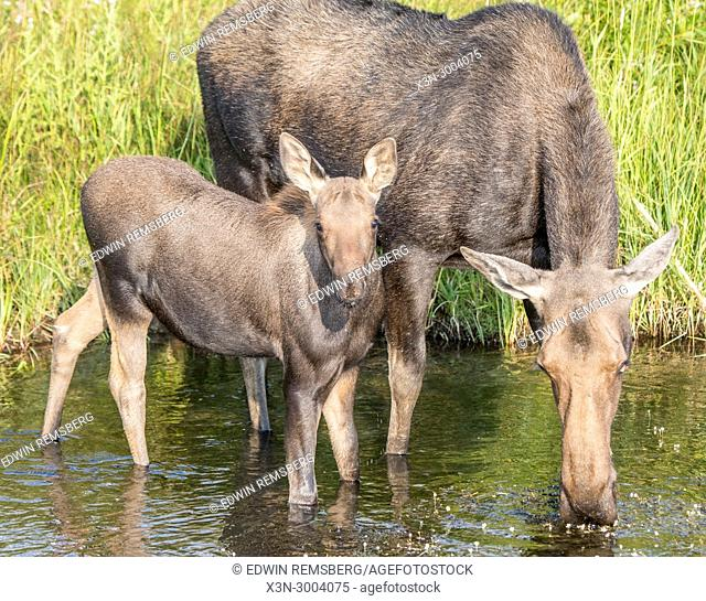 A moose drinks from a water hole with her young, Grand Tetons National Park, Teton County, Wyoming. USA