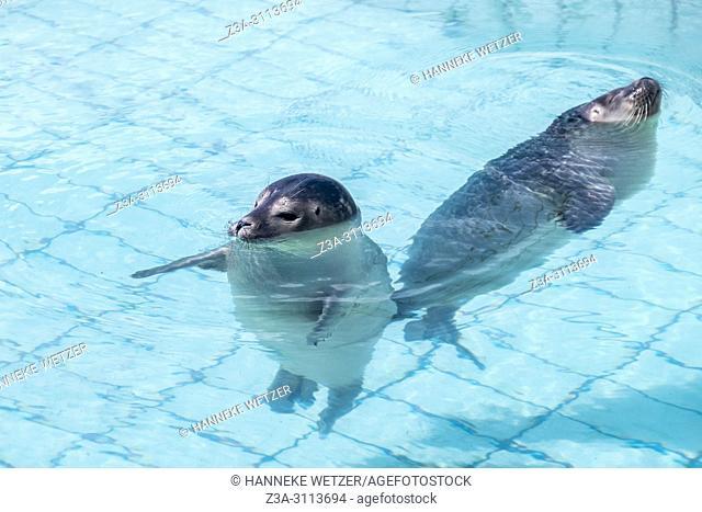 Seals swimming in the Seal Rehabilitation and Research Centre (Dutch: Zeehondencentrum Pieterburen), located in Pieterburen, Netherlands