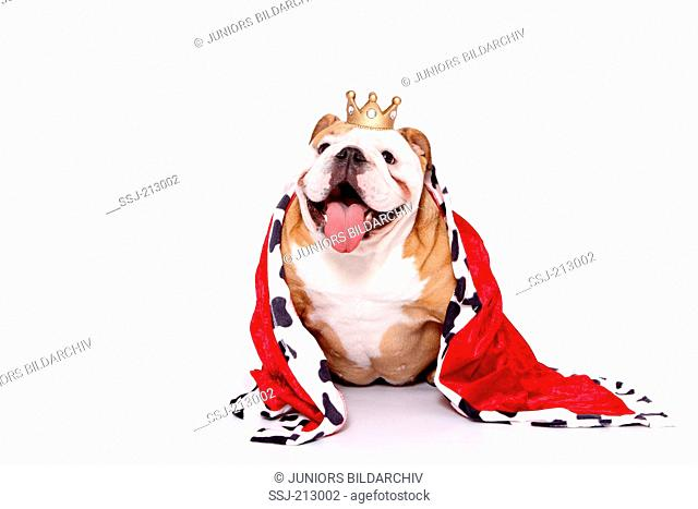 English Bulldog. Bitch in queens dress, sitting. Studio picture against a white background. Germany
