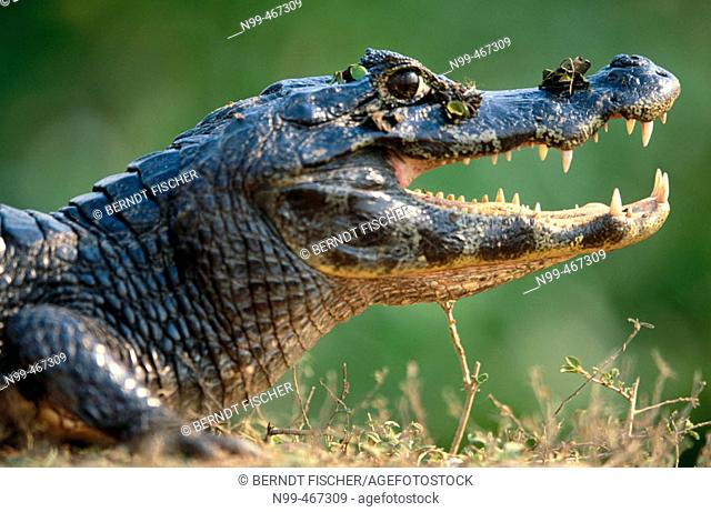 Caiman (Caiman crocodilus) sunbathing on the bank of a water pond, open mouth. Near Pocone. Pantanal. Mato Grosso. Brazil