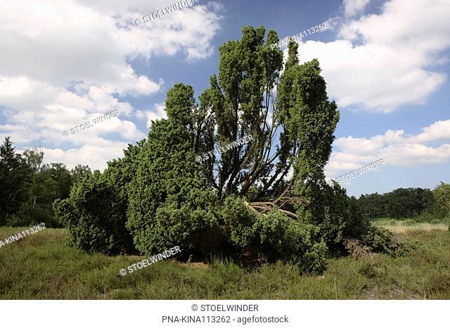 common juniper Juniperus communis - Landgoed Velhorst, Gorssel, Achterhoek, Guelders, The Netherlands, Holland, Europe