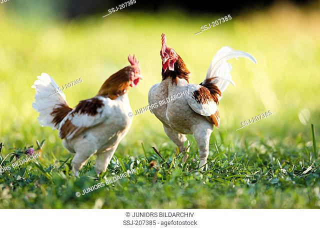 Domestic Chicken, breed: Old English Game Bantam. Two cocks threatening each other. Germany