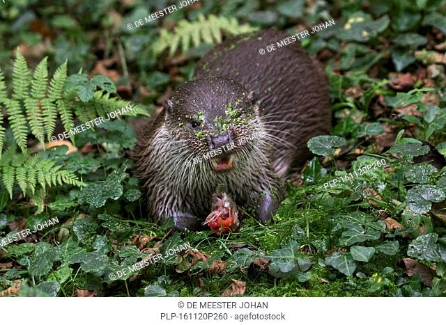 European River Otter (Lutra lutra) eating caught fish in forest
