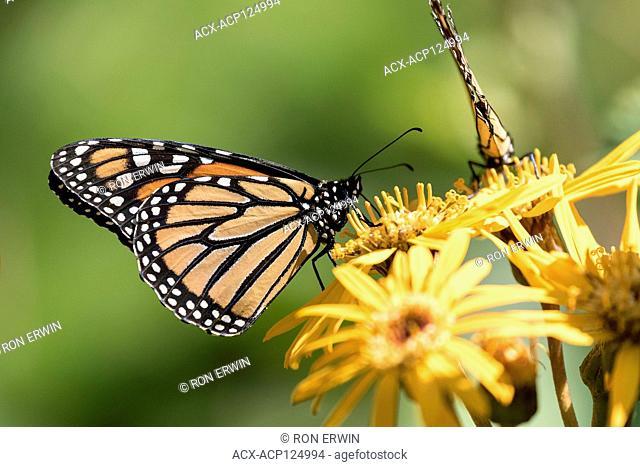 Monarch Butterfly (Danaus plexippus) on Ligularia, Toronto, Ontario, Canada