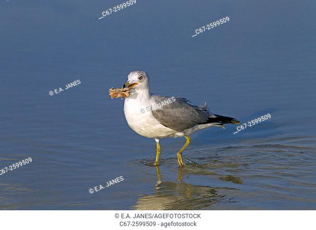 Ring-billed Gull Larus delawarensis feeding on Fort Myers beach Gulf Coast Florida USA
