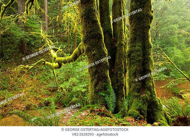 Forest, Golden & Silver Falls State Park, Oregon
