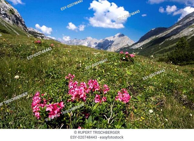 Alpenrosenstrauch