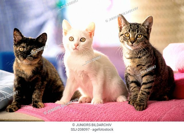 Domestic cat. Three kittens sitting on a pink blanket. Studio picture. Germany