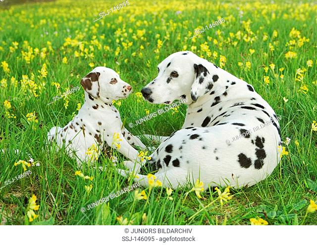 Dalmatian dog and puppy on meadow restrictions: Tierratgeber-Bücher / animal guidebooks